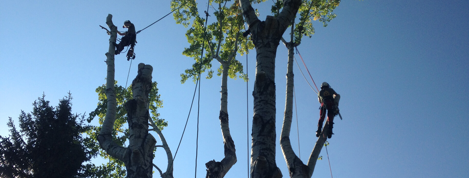 An image of The Arborest crew removing trees up high.