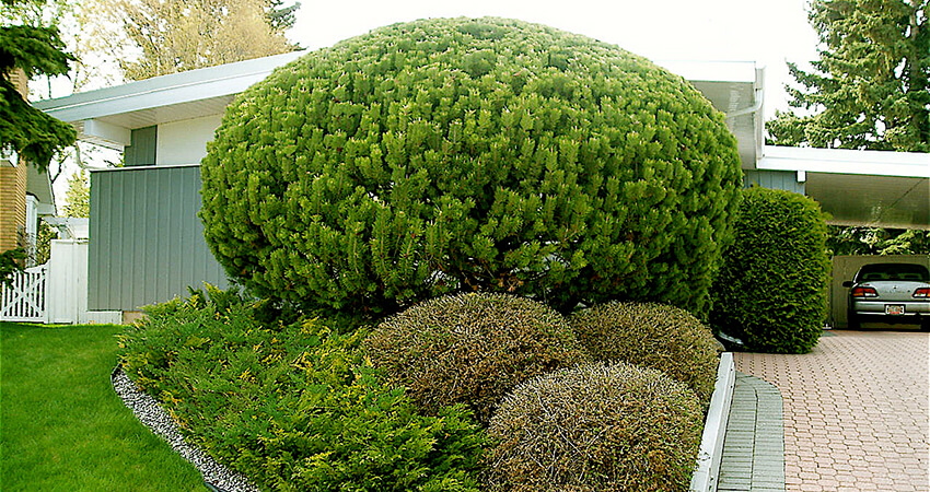 An image of a tree and shrubs with ornamental pruning.
