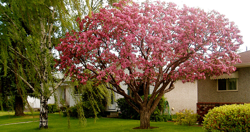An image of a pink blossom tree with ornamental pruning