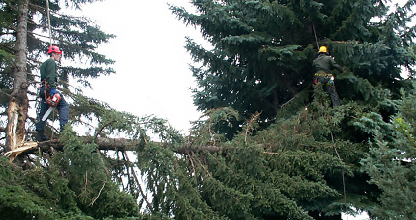 An image of two Arborest workers trimming trees with storm damage