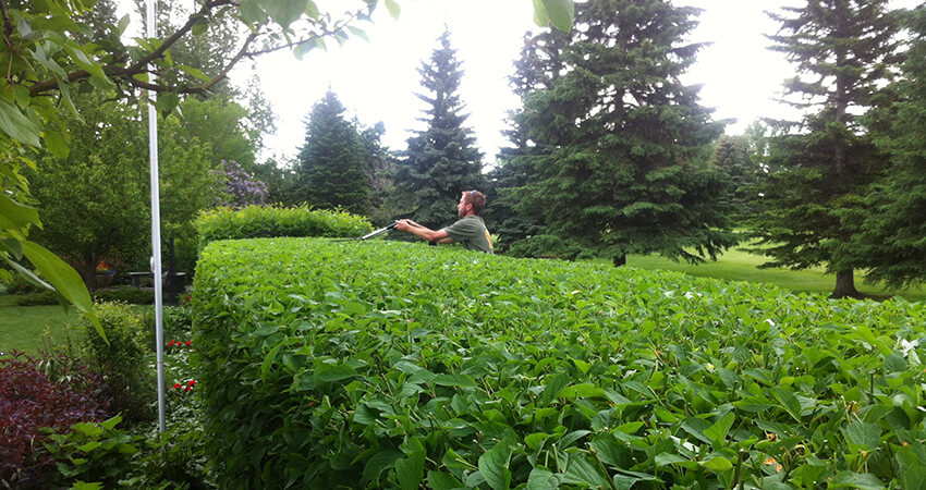 An image of an Arborest employee trimming a hedge by hand.