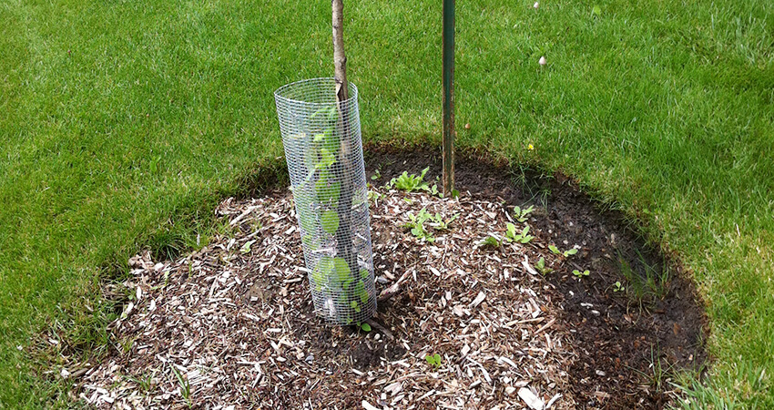 An image of a screen around a newly planted, healthy tree
